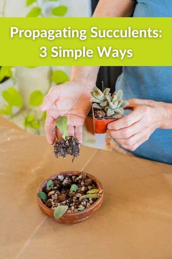 propagacion de suculentas de 3 maneras sencillas